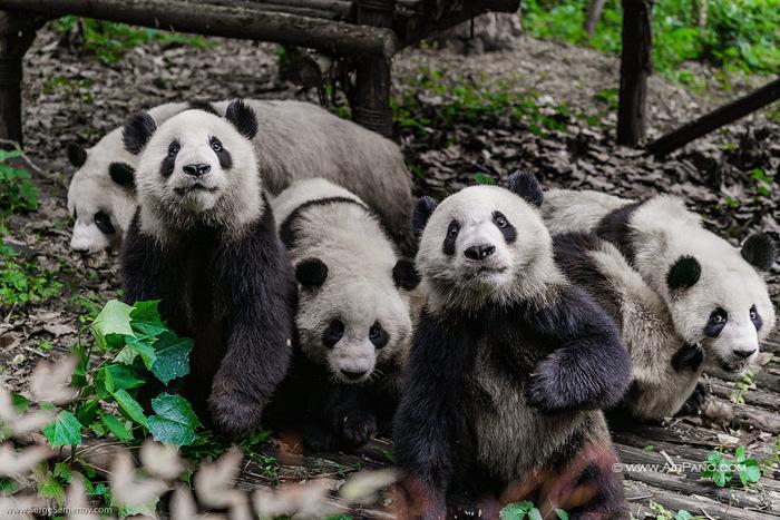 Chengdu Research Base of Giant Panda Breeding, China