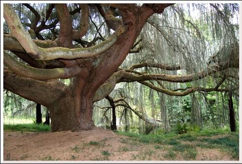 La Vallée-aux-Loups. 4 Arboretum. Le cèdre bleu pleureur