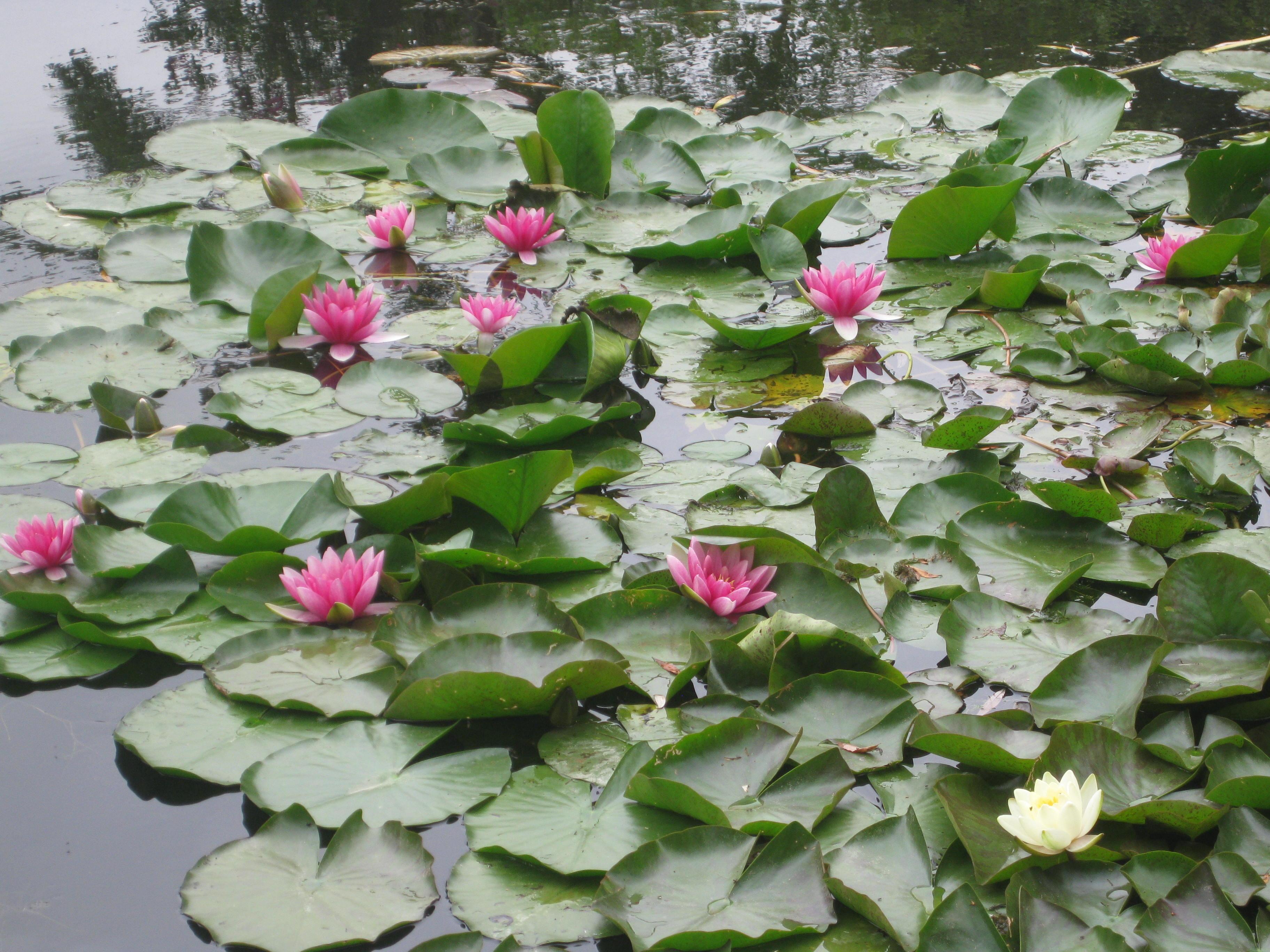 Les jardins de Claude Monet  Giverny Eure Milfontaines
