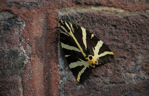 Papillon l'écaille chinée