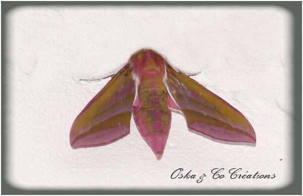 Grand-sphynx-de-la-vigne-papillon-de-nuit-rose-et-vert--Osk.jpg