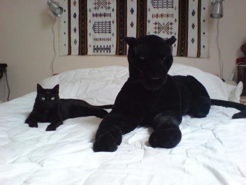 chat panthere toutou