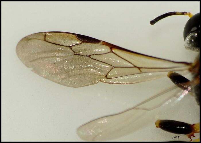 Crabronidae.