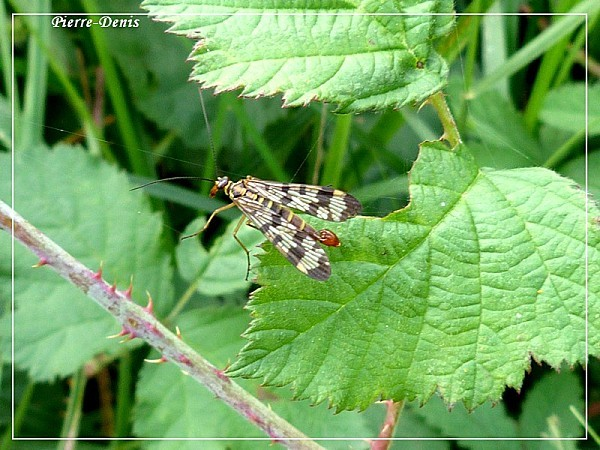 Mouche scorpion1