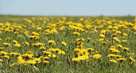Pissenlit, Prairie, Prairie Pissenlit