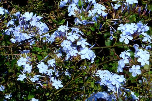 Des petites fleurs bleues