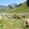 Les vaches de la vallée de Broto