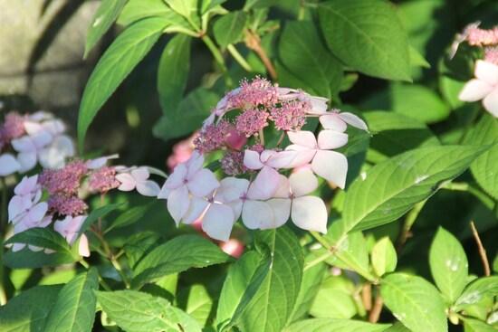 Hydrangea grayswood