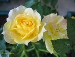 Photos de Roses 6