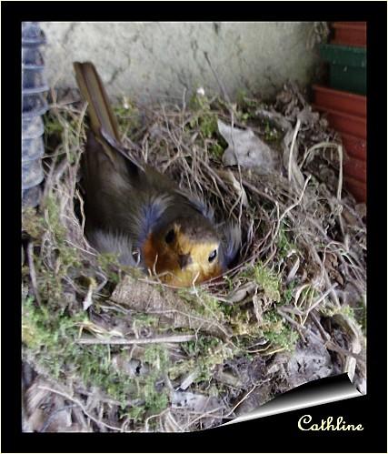 rouge gorge au nid