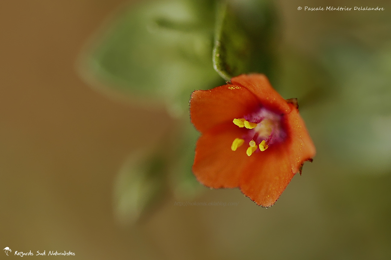 Mouron des champs - Anagallis arvensis