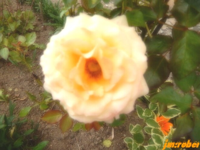 Rose, oh! ma rose éphémère.