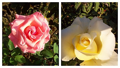 2-roses-le-24-aout-2011.jpg