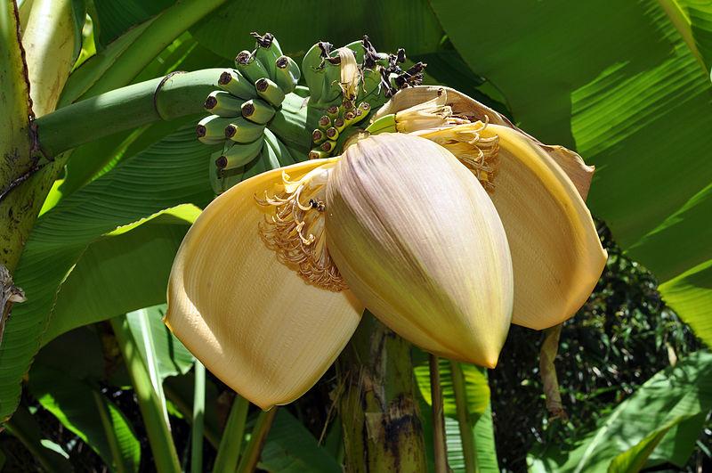 Fleur de banane plantain