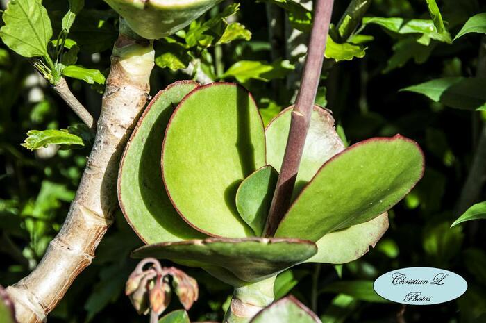 Le Cotyledon orbiculata 'Macrantha'…