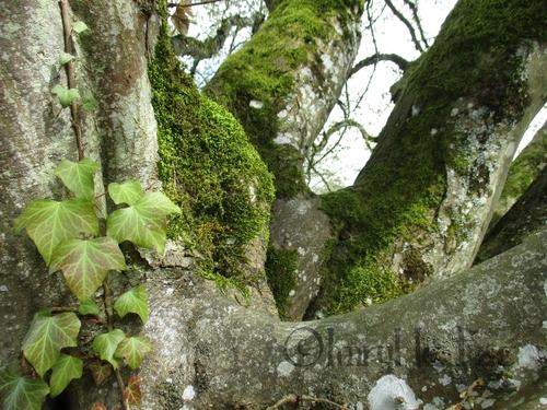 branches d'un charme avec une branche de lierre