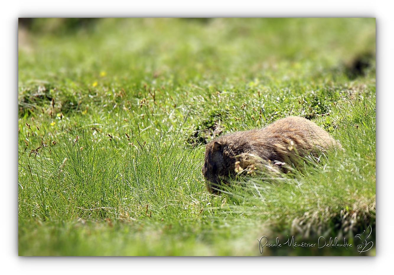 Marmottes des Alpes dans les Pyrénées