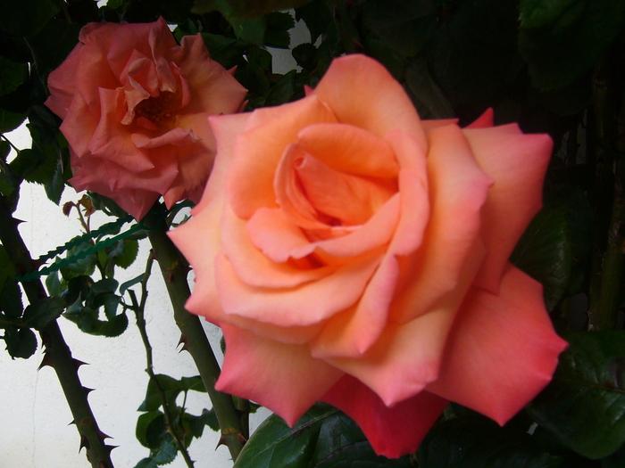 2003 - Vélizy - Roses