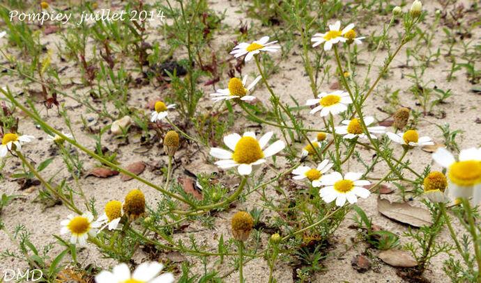 Cladanthus mixtus = Anthemis mixta  -  anthémis panaché