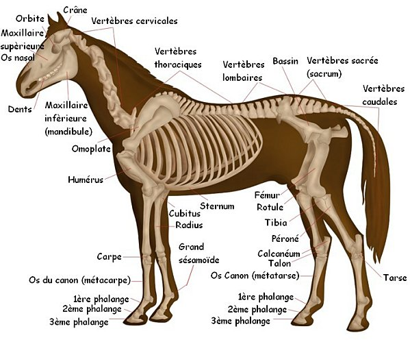 Anatomie cheval