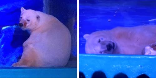 Pizza, l'ours blanc le plus triste du monde