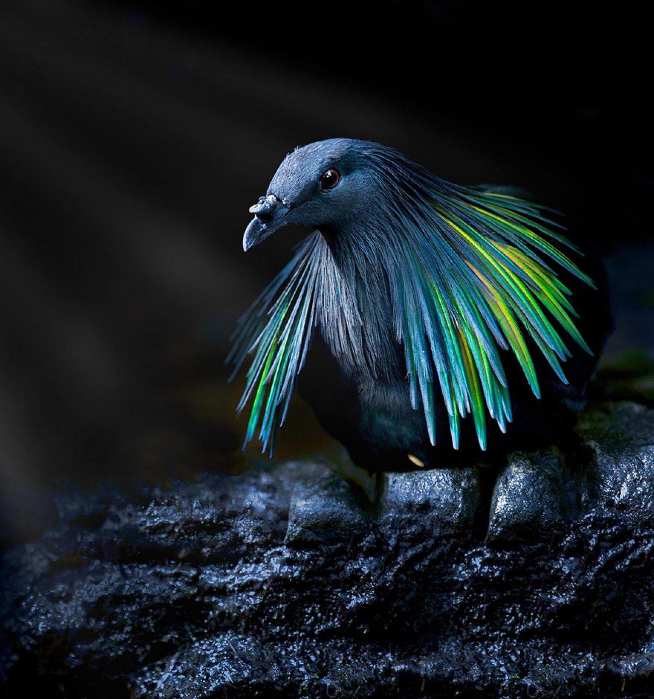 NICABAR A CAMAIL  (Famille  du  Dodo)
