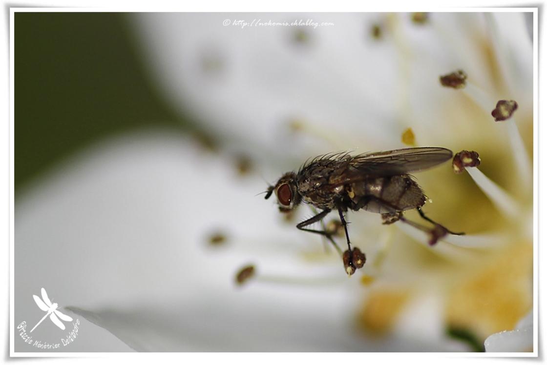 Hydrophoria lancifer (conica) ♀ - Anthomyiidae
