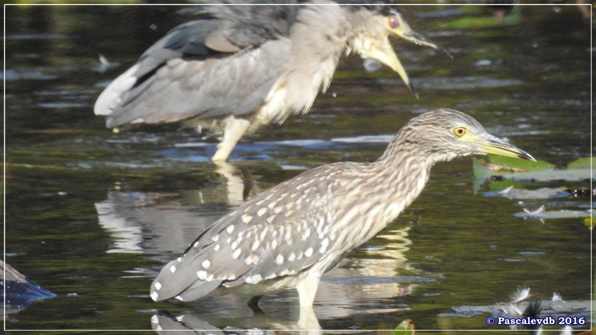 Réserve ornitho du Teich - Septembre 2016 - 10/11