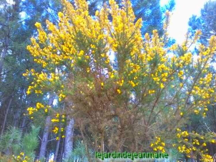les genêts / Genista / dans la forêt ils sont en pleines fleurs