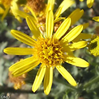 Jacobaea erucifolia  †Senecio erucifolius - séneçon à feuille de roquette