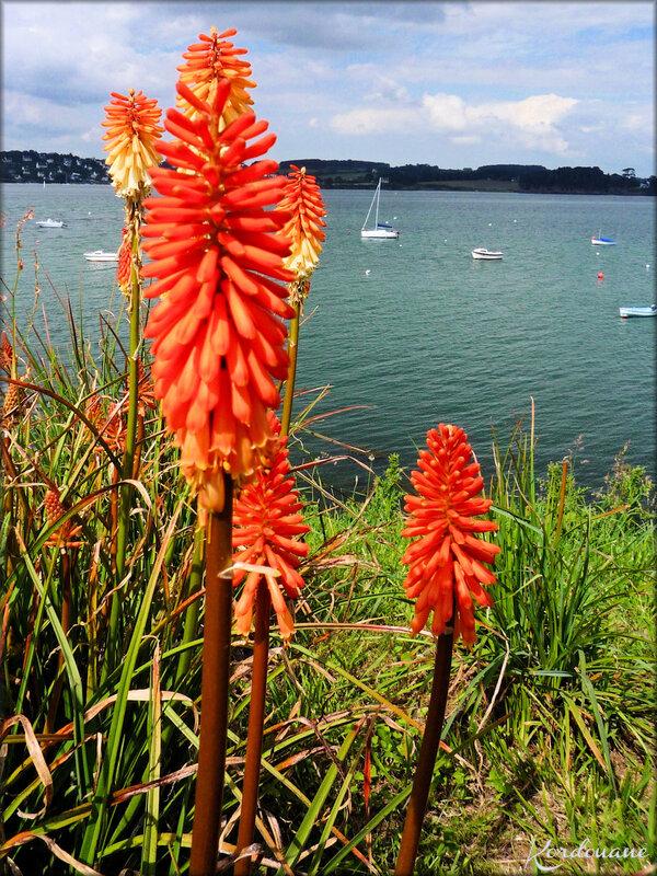Photo de Kniphofia uvaria (fleur-flore)