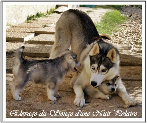 Chiots Huskys Groupe (35j)