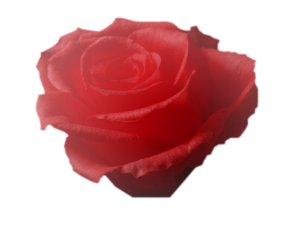 Voici pour vous d'autres tubes Roses
