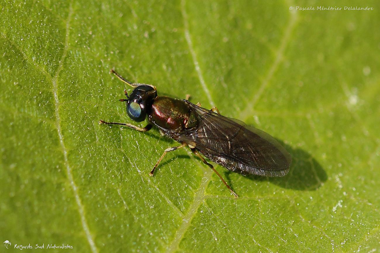 Chloromyia formosa ♀ (STRATIOMYIIDES)