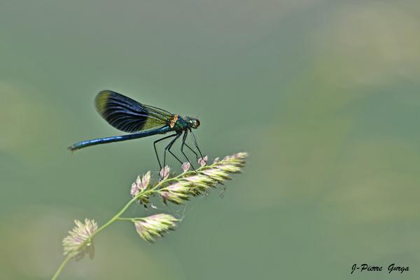 Jean-Pierre Gurga nous offre de superbes photos de libellules....