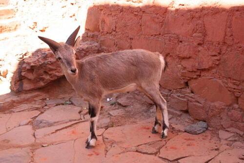 l'antilope tibétaine