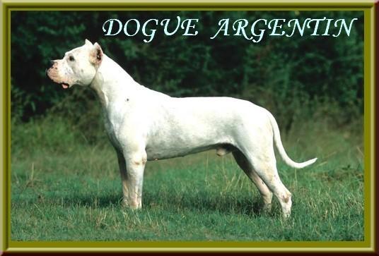 dogue_argentin1.jpg