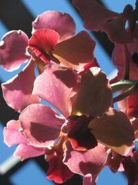 Orchidée au conservatoire botanique de Mascarin de Saint Leu