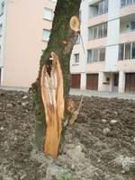 --- CE QU'IL NE FAUT PAS FAIRE A SAILLANS ----------- arrachement du tiers d'un arbre ------ Photo André Oddon - 11 02 17 ---