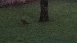 Braunes Huhn in Morgendämmerung