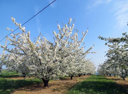 Rando des cerisiers en fleur à Bessanay