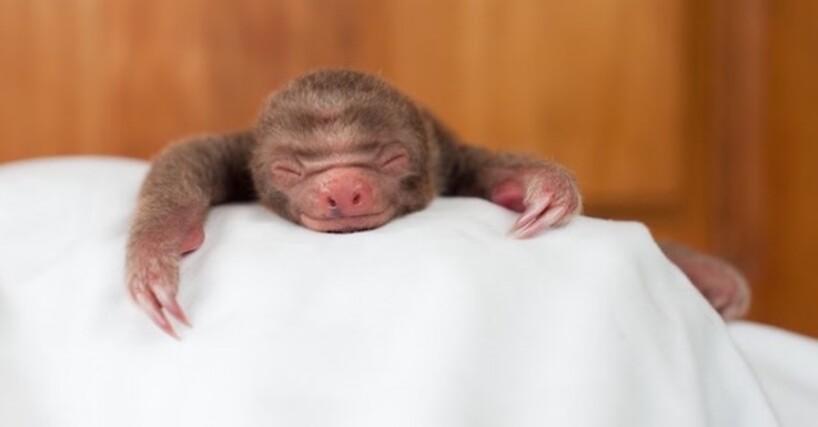 Le plus mignon des Bébés Paresseux a été sauvé au Costa Rica (12)