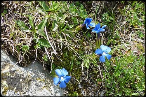 Gentiane du printemps - Gentiana verna