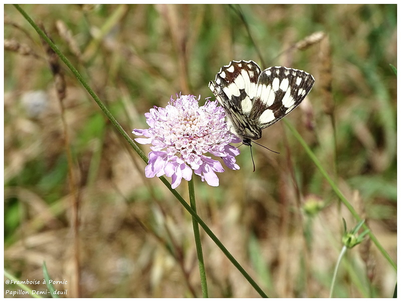 Papillon Demi-deuil - 2016