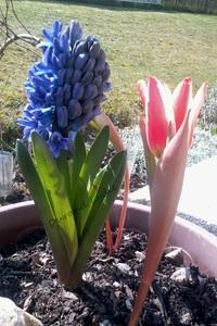 """Jacinthe """"Blue Jacket"""" ou Hyacinthus avec Tulipe"""