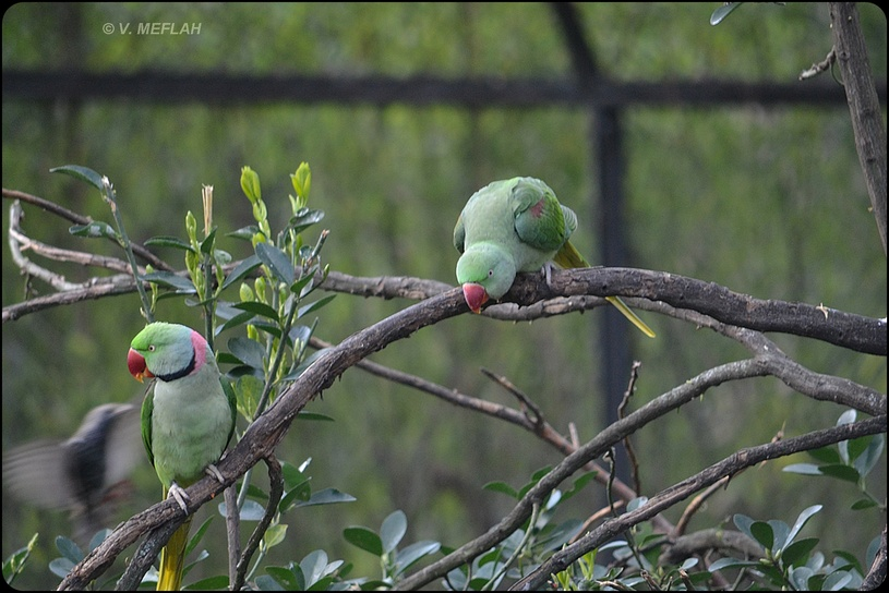 La Ménagerie, Zoo du Jardin des Plantes : La grande volière : Perruches à collier