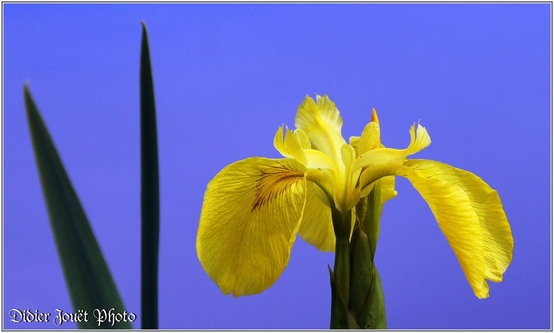 Iris des Marais / Iris pseudacorus