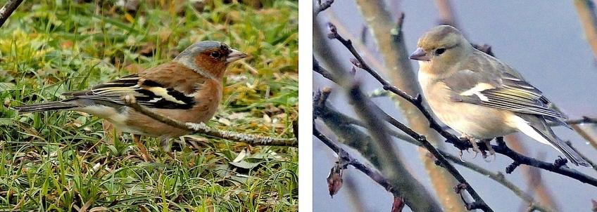 Portrait d'oiseau (18) : le pinson des arbres