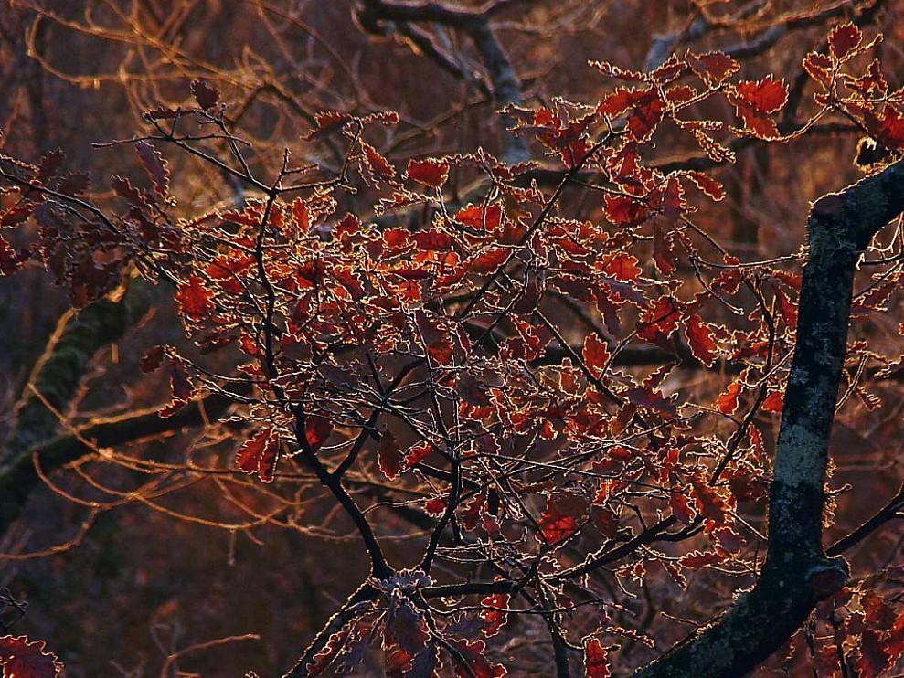Soleil-et-givre-sur-les-feuilles-de-chene.jpg