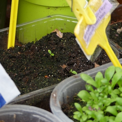 Petits semis sont devenus grands...